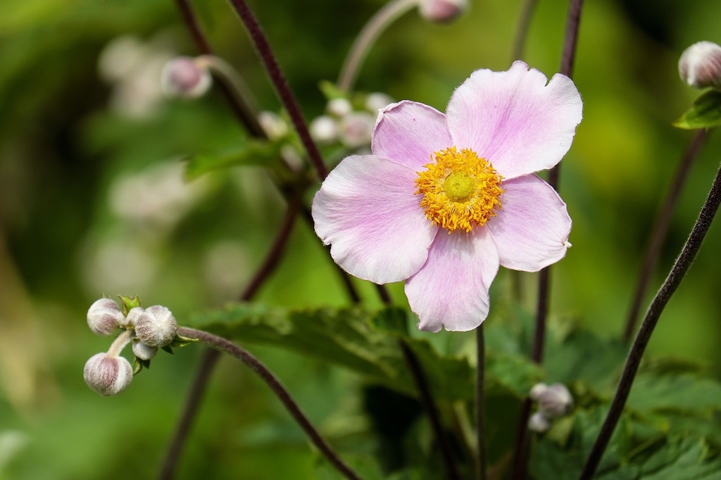 anemone-1610920_1280
